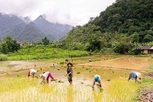 Rice Fields North Vietnam